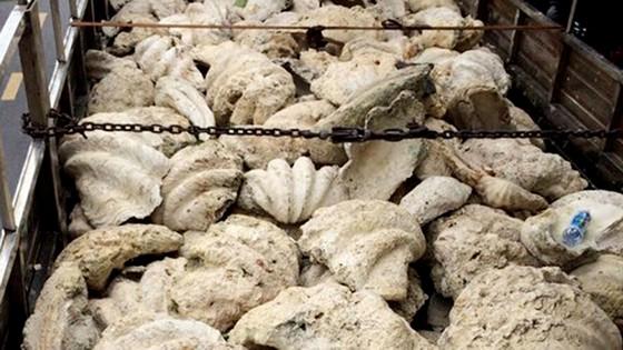 Tiền Giang chuyển giao vỏ trai tai tượng khổng lồ quý hiếm cho cơ quan chuyên môn ảnh 1