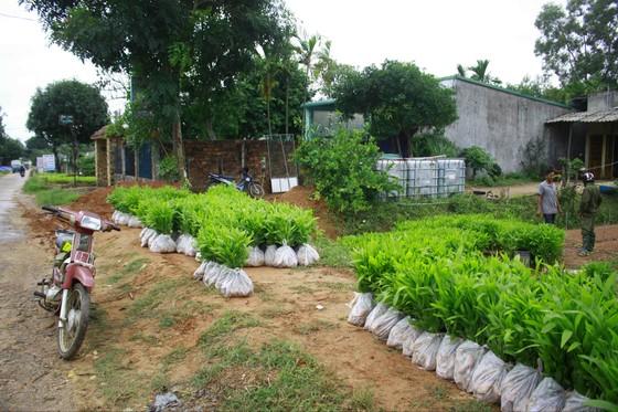 Quảng Ngãi: Trời mưa liên tiếp, dân đổ xô mua keo trồng rừng ảnh 1