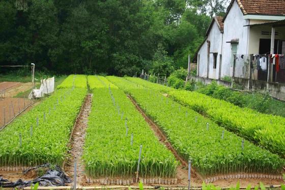 Quảng Ngãi: Trời mưa liên tiếp, dân đổ xô mua keo trồng rừng ảnh 2