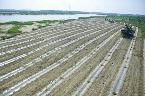 """Sau """"giải cứu"""", nông dân Quảng Ngãi tiếp tục xuống vụ dưa hè """"nội địa"""" ảnh 1"""