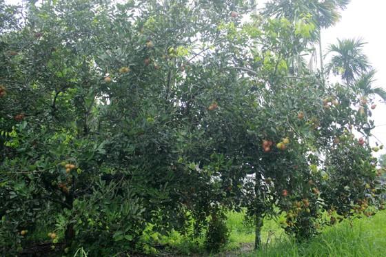Quảng Ngãi được mùa chôm chôm, bưởi, sầu riêng… ảnh 1