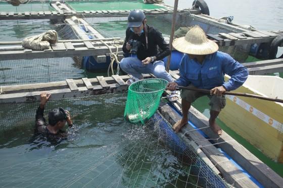 Cá nuôi lồng bè chết hàng loạt, người nuôi bán tháo giá rẻ ảnh 7