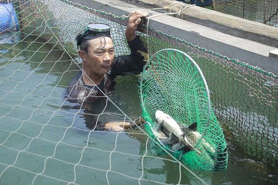 """Quảng Ngãi: Cá chết nghi bị """"sốc"""" do thay đổi môi trường đột ngột ảnh 1"""