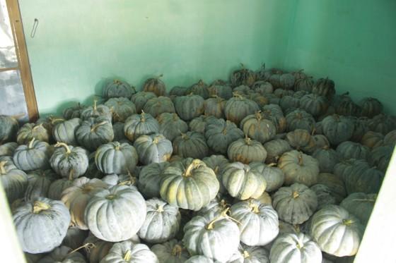 Quảng Ngãi: Bí đỏ rớt giá còn 5.000 đồng/kg, nông dân lo lắng ảnh 2