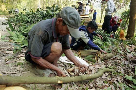 Quảng Ngãi: Dân đổ xô trồng quế ảnh 1
