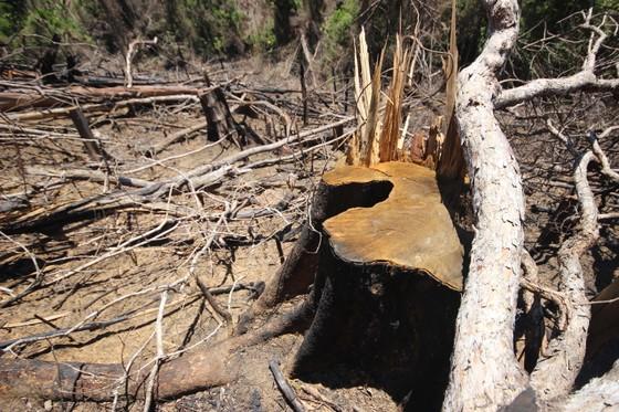 Buông lỏng quản lý, cả trăm ha rừng ở Quảng Nam bị tàn phá ảnh 3