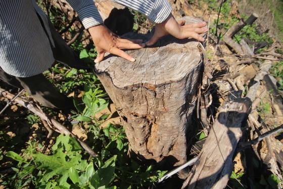 Buông lỏng quản lý, cả trăm ha rừng ở Quảng Nam bị tàn phá ảnh 4