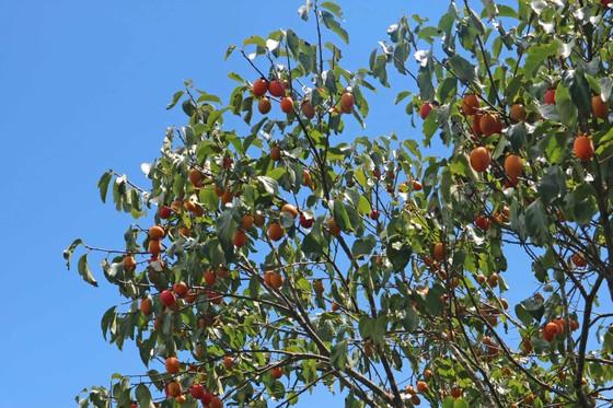 Rộn ràng mùa trái hồng ở Đà Lạt ảnh 9