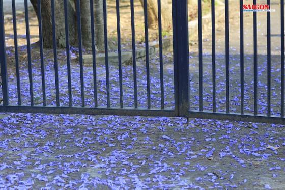 Đà Lạt đẹp mộng mơ trong khung trời hoa phượng tím ảnh 5