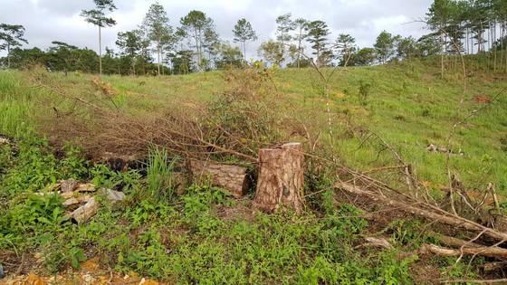 """Rừng phòng hộ ở Lâm Đồng bị """"giết chết"""" như thế nào? ảnh 17"""