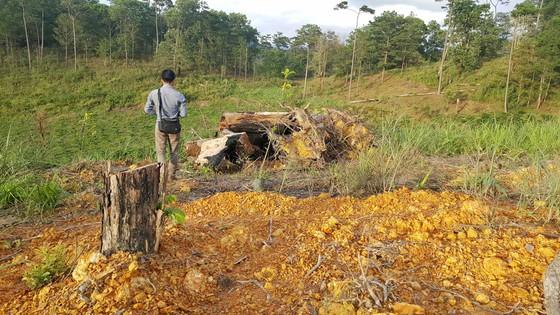 """Rừng phòng hộ ở Lâm Đồng bị """"giết chết"""" như thế nào? ảnh 3"""