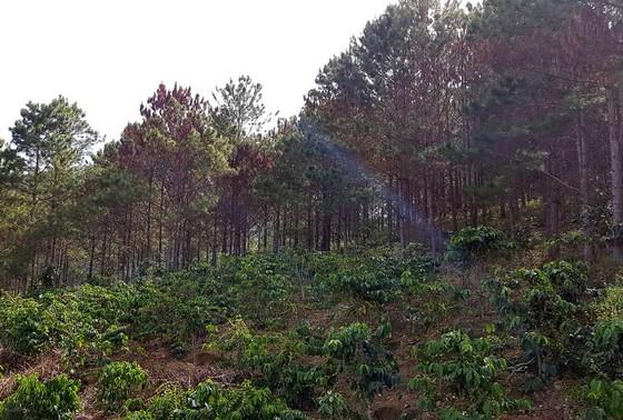 Tỉnh Lâm Đồng chỉ đạo điều tra, xử lý vụ đầu độc hơn 670 cây thông bị đầu độc ảnh 2