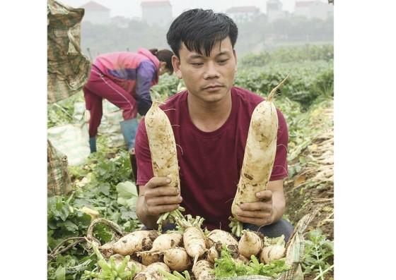 """Hà Nội họp bàn """"giải cứu"""" khoảng 3.000 tấn củ cải ế ảnh 2"""