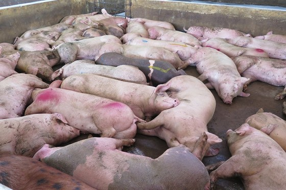 Hàng loạt con heo ở Hà Nội chán ăn rồi lăn ra chết ảnh 1