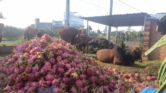 Nông dân Bình Thuận ngậm đắng đem thanh long đổ cho bò ăn ảnh 1