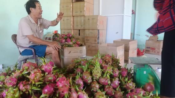 Nông dân Bình Thuận ngậm đắng đem thanh long đổ cho bò ăn ảnh 3