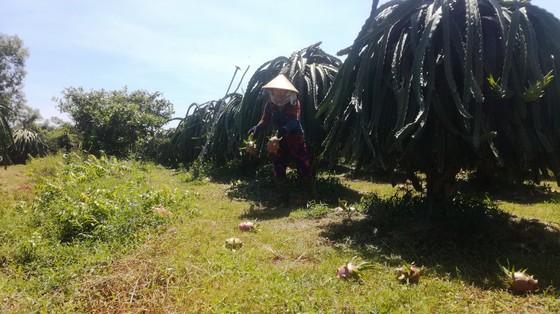 Tỉnh Bình Thuận trả lời về nguyên nhân khiến thanh long rớt giá phải đổ bỏ ảnh 3