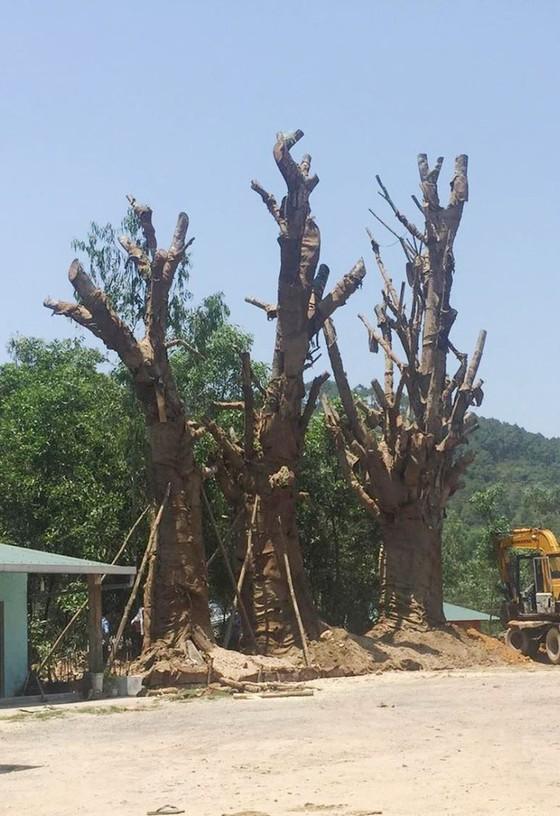 """Không giấy phép vận chuyển, 3 cây cổ thụ """"khủng"""" trồng tạm bên vệ đường ảnh 1"""