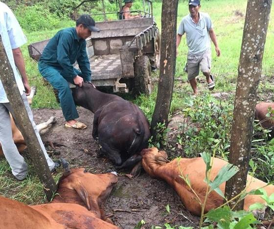 Sét đánh chết 5 con bò tại Thừa Thiên - Huế ảnh 1