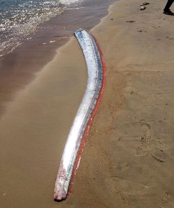 Phát hiện cá hố rồng dài hơn 4m ảnh 2