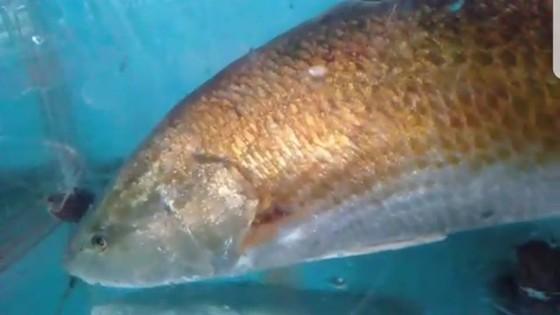 VIDEo: Thanh niên đi câu lúc rạng sáng bắt được cá lạ nghi là cá sủ vàng ảnh 2