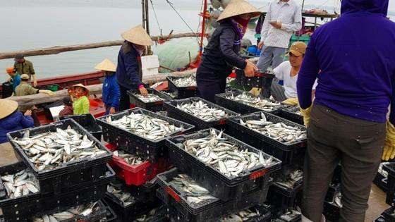 Nhiều ngư dân Bắc miền Trung tiếp tục trúng đậm cá trích, cá cơm biển ảnh 3