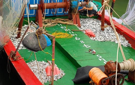 Nhiều ngư dân Bắc miền Trung tiếp tục trúng đậm cá trích, cá cơm biển ảnh 6