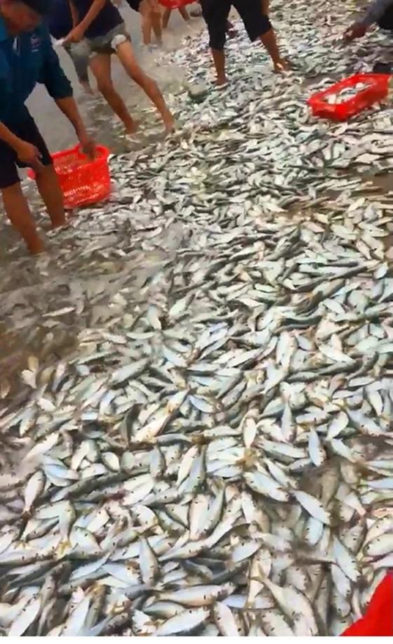 Hà Tĩnh: Hàng tấn cá bơi vào gần bờ biển  ảnh 1