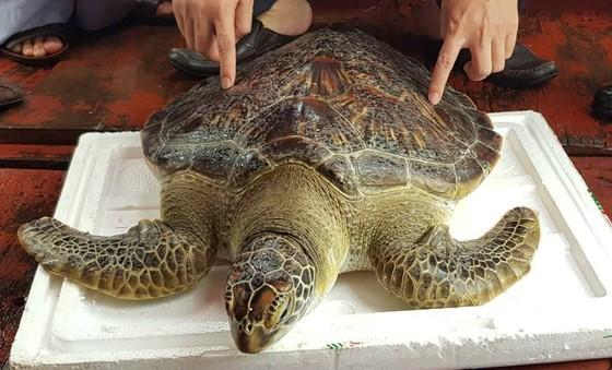 Thả cá thể rùa biển nặng 22kg về lại môi trường tự nhiên ảnh 1