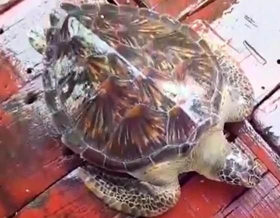 Thả cá thể rùa biển nặng 22kg về lại môi trường tự nhiên ảnh 2