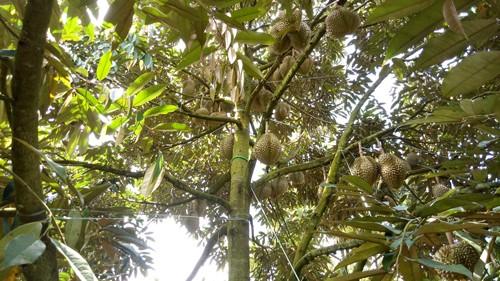 Phân bón Phú Mỹ giúp tăng giá trị trái sầu riêng Đắk Lắk ảnh 1