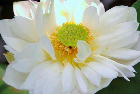 Chiêm ngưỡng khu đầm 12 loại sen quý gần Hà Nội ảnh 6