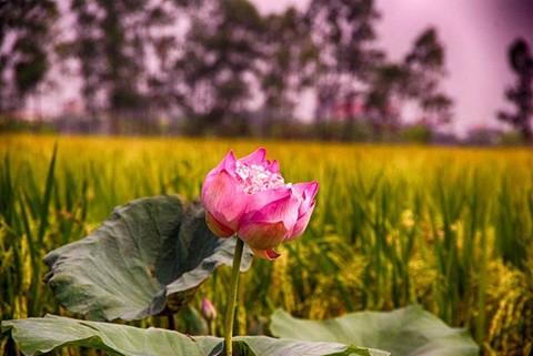 Chiêm ngưỡng khu đầm 12 loại sen quý gần Hà Nội ảnh 11