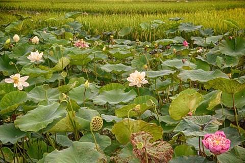 Chiêm ngưỡng khu đầm 12 loại sen quý gần Hà Nội ảnh 1