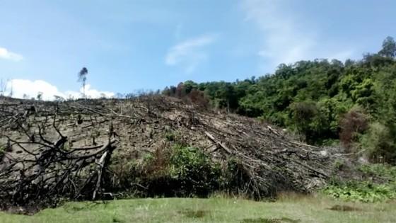 """VIDEO: Cận cảnh 43ha rừng tự nhiên tại Bình Định bị """"lâm tặc"""" triệt hạ ảnh 4"""