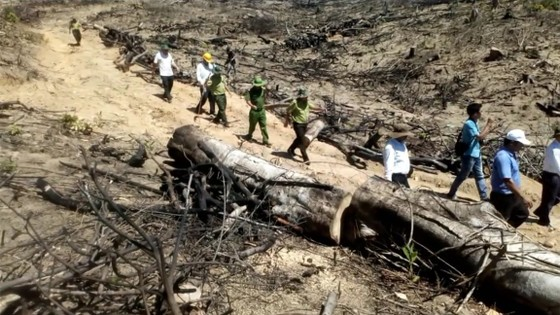 """VIDEO: Cận cảnh 43ha rừng tự nhiên tại Bình Định bị """"lâm tặc"""" triệt hạ ảnh 1"""
