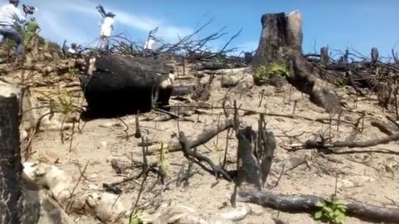 """VIDEO: Cận cảnh 43ha rừng tự nhiên tại Bình Định bị """"lâm tặc"""" triệt hạ ảnh 3"""