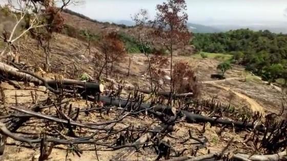 """VIDEO: Cận cảnh 43ha rừng tự nhiên tại Bình Định bị """"lâm tặc"""" triệt hạ ảnh 2"""