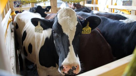 Nhập khẩu 200 con bò hữu cơ về Việt Nam ảnh 1