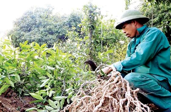 """Bảo tồn và phát huy giá trị cây thuốc Việt - Bài 1: """"Vàng xanh"""" đang cạn kiệt ảnh 2"""