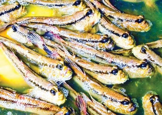 Cá thòi lòi - Dị hợm, kỳ lạ ảnh 7