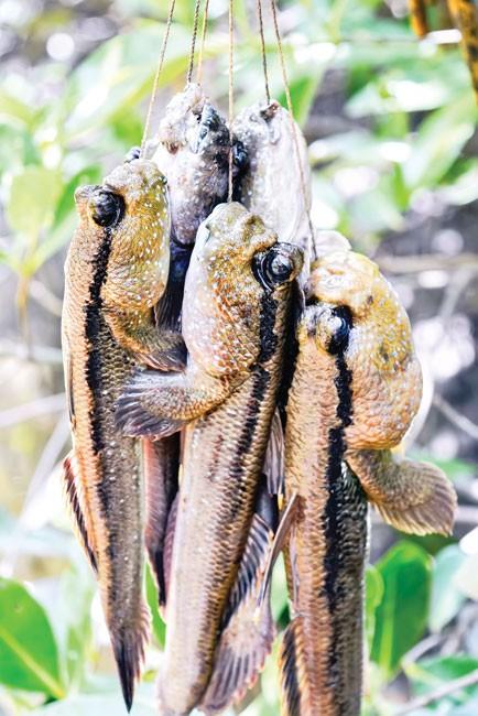 Cá thòi lòi - Dị hợm, kỳ lạ ảnh 4