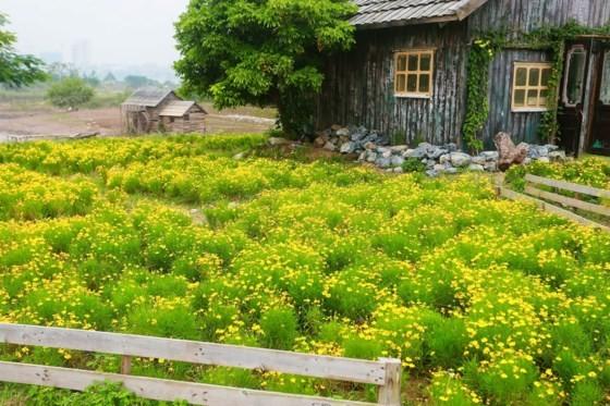 Ngỡ ngàng với thảo nguyên hoa đẹp như cổ tích ven sông Hồng ảnh 3
