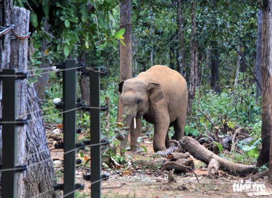 Rừng suy giảm, voi rừng liên tục tấn công, phá hoại cây trồng - Ảnh 3.