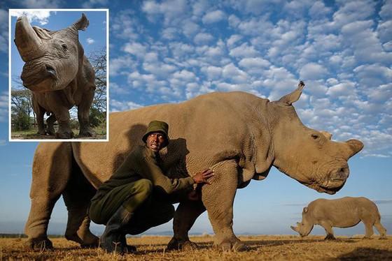 Tê giác trắng châu Phi đực cuối cùng đã chết - Ảnh 1.