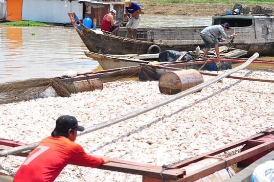 Đã có hơn 1.500 tấn cá bè trên sông La Ngà bị chết ảnh 2