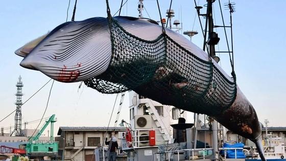 Nhật Bản đe doạ rút khỏi IWC sau khi tổ chức này phủ quyết đề xuất nối lại hoạt động săn bắt cá voi. Ảnh: Kyodo