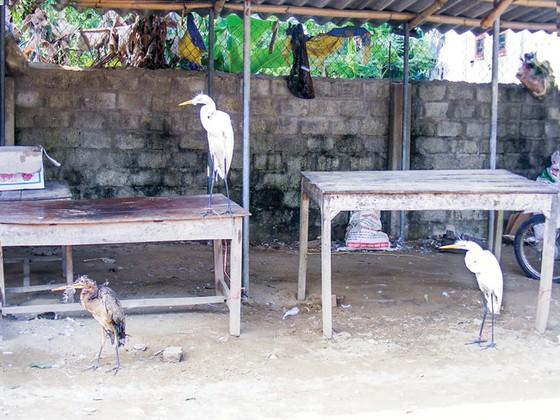 Tận diệt chim cò ảnh 2