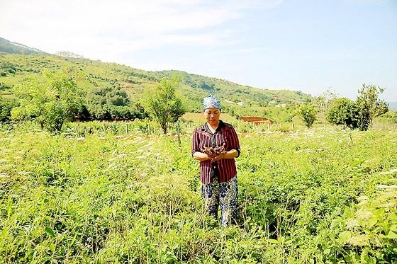 """Bảo tồn và phát huy giá trị cây thuốc Việt - Bài 1: """"Vàng xanh"""" đang cạn kiệt ảnh 3"""