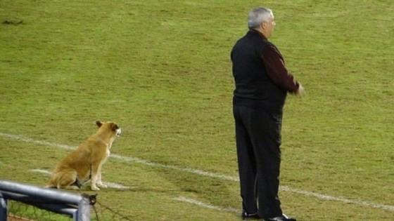Tesapara là chú chó đầu tiên trong lịch sử được làm trợ lý HLV